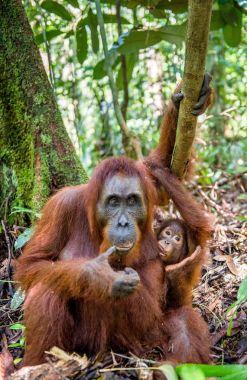Orangutan baby sucks its mother's breast milk