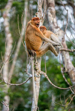 monkey baby sucks its mother's breast milk