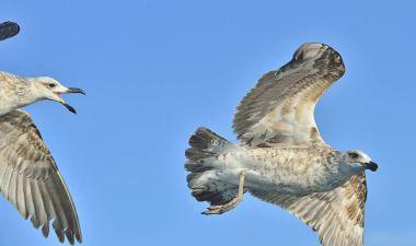 Flying Juvenile Kelp gulls