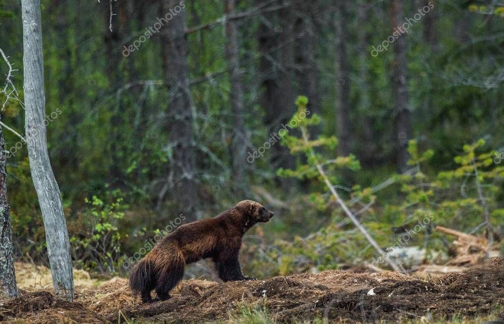 Wolverine in wild nature