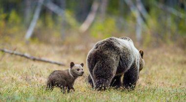 "Картина, постер, плакат, фотообои ""медведица и кубики бурого медведя животные природа"", артикул 170228412"