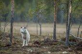 Gray wolf at twilight