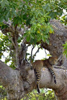 The Sri Lankan leopard