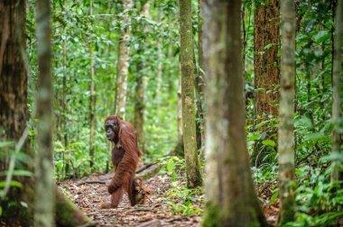 Orangutans with cub. Central Bornean orangutan ( Pongo pygmaeus wurmbii ) in natural habitat. Wild nature in Tropical Rainforest of Borneo. Indonesia