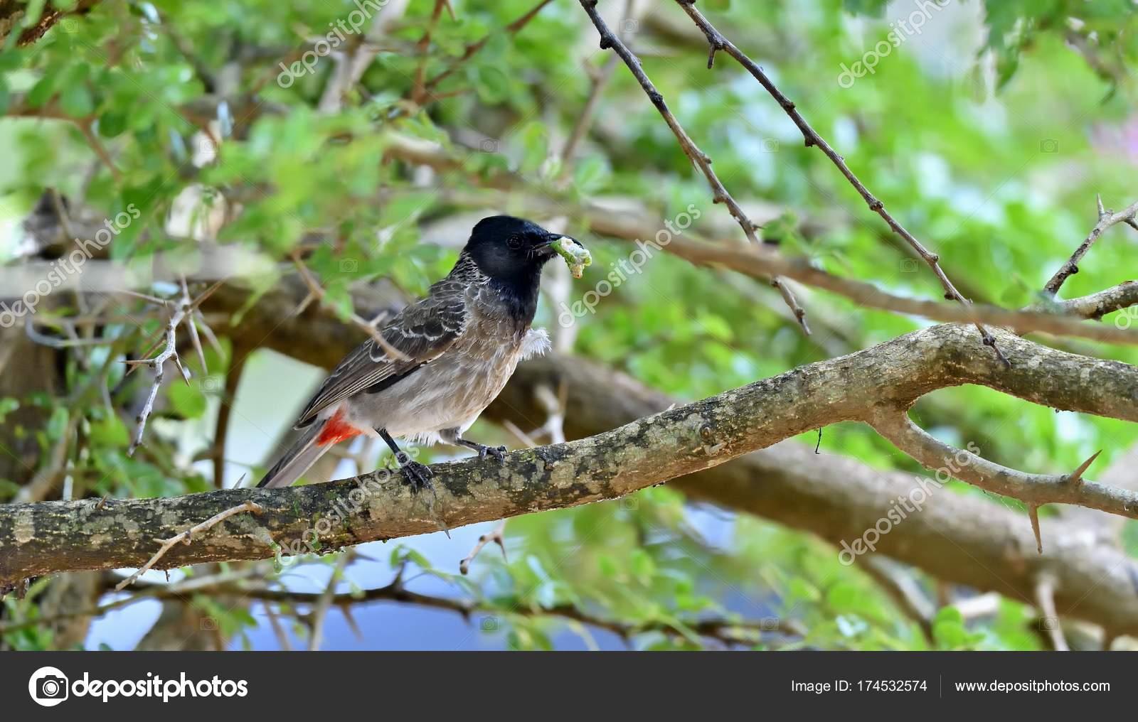 シリアカヒヨドリ Pycnonotus Ca...