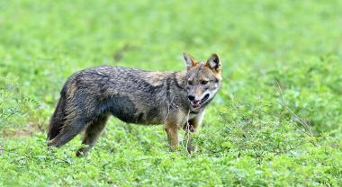 Jackal marks territory. Close-up wildlife photo of Canis aureus, Indian jackal, standing on green grass against green natural background. Side view. The Sri Lankan jackal (Canis aureus naria)