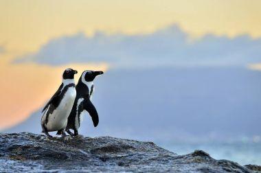 African penguins (spheniscus demersus) The African penguins on the shore in evening twilight stock vector