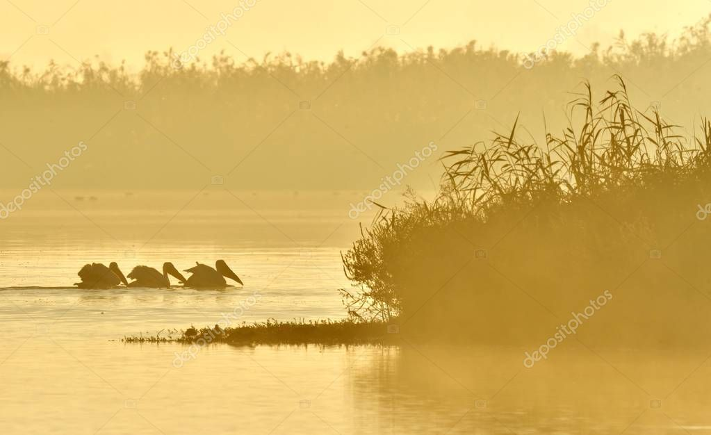 Pelicans swim across the water in the morning mist. Morning mist before dawn.