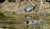 Photo Swimming nutria. The coypu (Myocastor coypus), also known as the nutria.