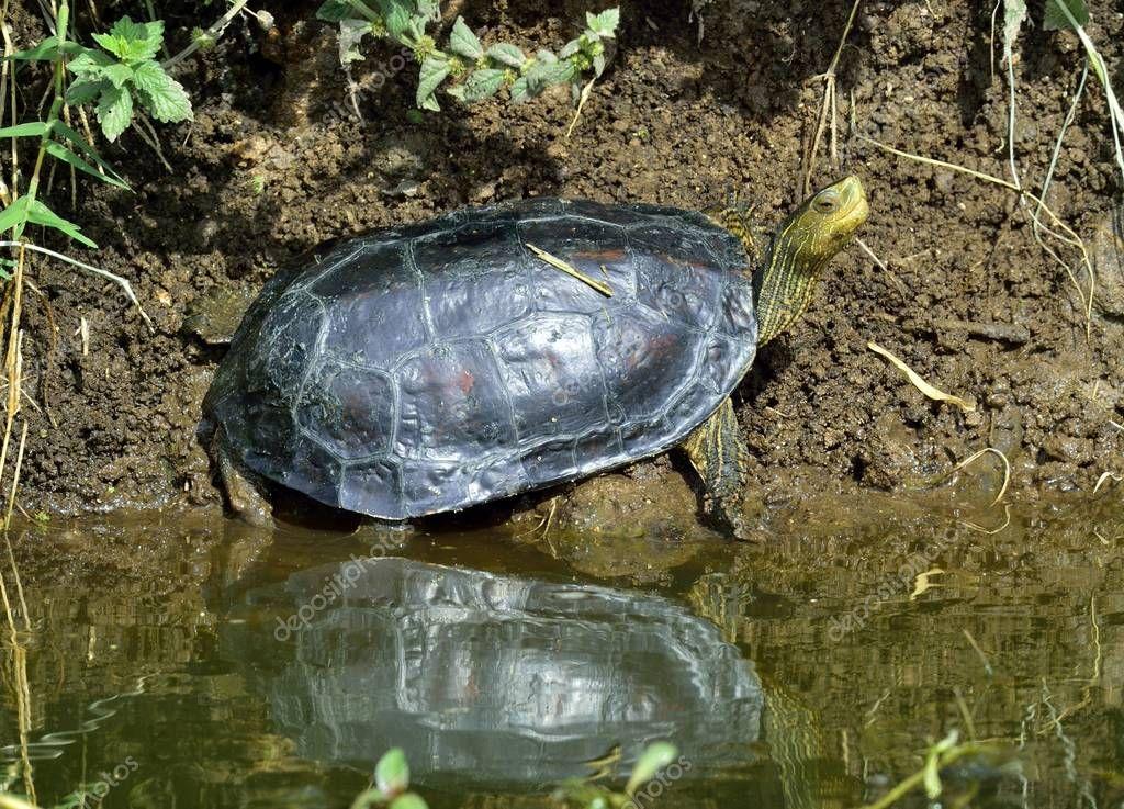 The Caspian turtle or striped-neck terrapin (Mauremys caspica) in natural habitat