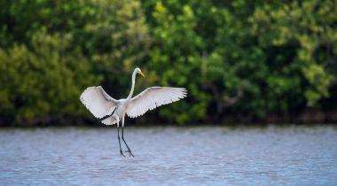 The great egret ( Ardea alba ). Natural green background. Cuba.