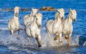 Camargue bílá na koni na modré vody moře. Francie