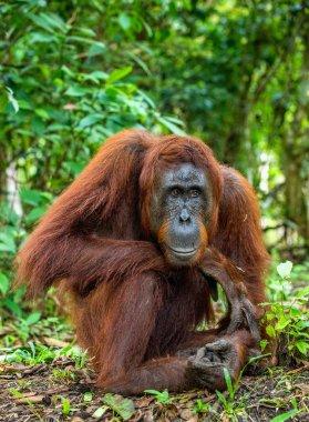 A close up portrait of the Bornean orangutan (Pongo pygmaeus). Wild nature. Central Bornean orangutan ( Pongo pygmaeus wurmbii ) in natural habitat. Tropical Rainforest of Borneo.