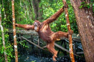 Bornean orangutan on the tree under rain in the wild nature. Central Bornean orangutan ( Pongo pygmaeus wurmbii ) on the tree in natural habitat. Tropical Rainforest of Borneo. Indonesia