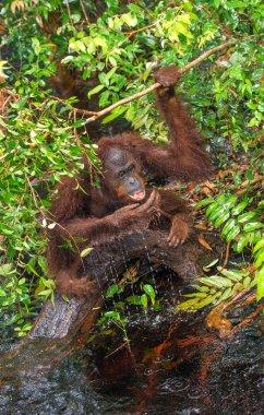 Orangutan drinking water from the river in the jungle. Central Bornean orangutan ( Pongo pygmaeus wurmbii ) in the wild nature, natural habitat. Tropical Rainforest of Borneo. Indonesia