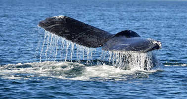 Tail fin of the mighty humpback whale (Megaptera novaeangliae).