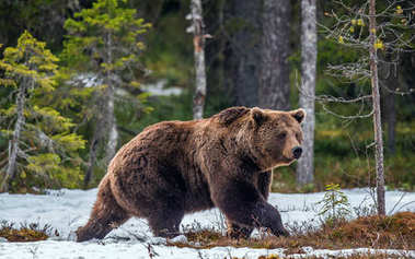 Wild Brown Bear in the spring forest. European Brown Bear ( Ursus Arctos )