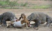 Fotografie Draci útoky. Komodo draků napadá kořist. Komodo dragon, Varanus nebulosus, je největší životní ještěr na světě. Na ostrově Michaela