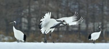 Dancing Cranes. The red-crowned cranes (Sceincific name: Grus japonensis), also called the Japanese cranes or Manchurian cranes, is a large East Asian cranes.