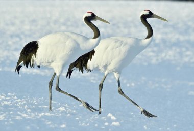 Dancing Cranes. The red-crowned cranes (Sceincific name: Grus japonensis), also called the Japanese crane or Manchurian cranes, is a large East Asian cranes.
