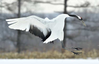 Dancing Crane. The red-crowned crane (Sceincific name: Grus japonensis), also called the Japanese crane or Manchurian crane, is a large East Asian crane.