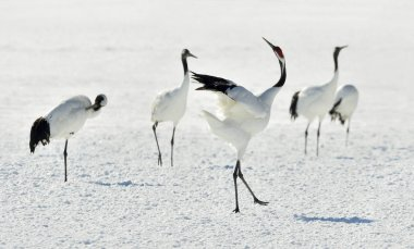 Dancing Cranes. The red-crowned cranes (Scientific name: Grus japonensis), also called the Japanese cranes or Manchurian cranes, is a large East Asian crane.