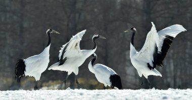 The red-crowned cranes . Scientific name: Grus japonensis, also called the Japanese crane or Manchurian crane.