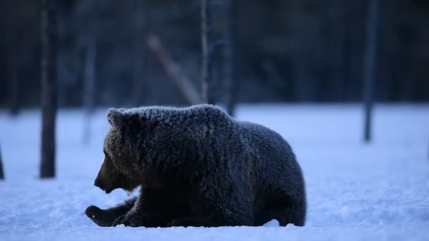 Brown bear in the winter forest at night. Scientific name: Ursus arctos. Natural habitat. Winter forest.