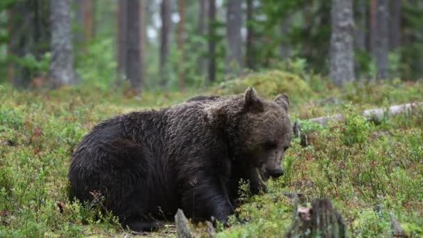 4k. Barna medve a nyári erdőben. Zöld fenyőerdő természeti háttér. Tudományos név: Ursus arctos. Természetes élőhely. Nyári szezon.