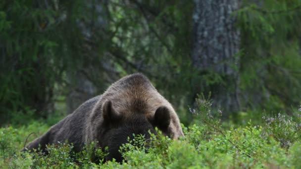 4k. Medvěd hnědý v letním lese. Zelený borový les přírodní pozadí. Vědecký název: Ursus arctos. Přírodní prostředí. Letní sezóna.