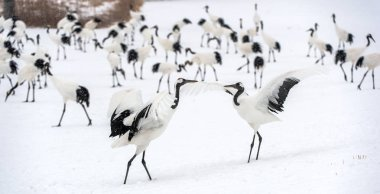 Dancing Cranes. The ritual marriage dance of cranes. The red-crowned cranes. Scientific name: Grus japonensis, also called the Japanese crane or Manchurian crane, is a large East Asian Crane.