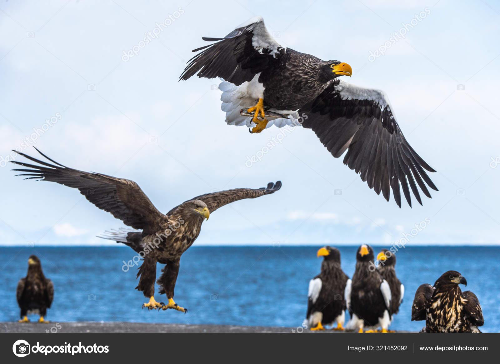 ᐈ Aguilas Volando Imágenes De Stock Fotos águilas