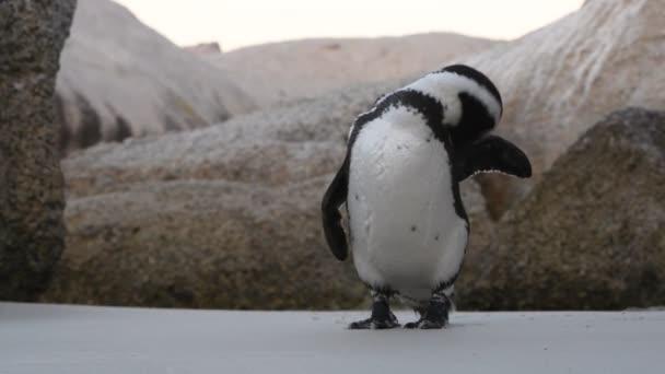 Tučňák africký čistí peří zobákem. Vědecké jméno: Spheniscus demersus, také známý jako tučňák a tučňák černý. Jižní Afrika 4k