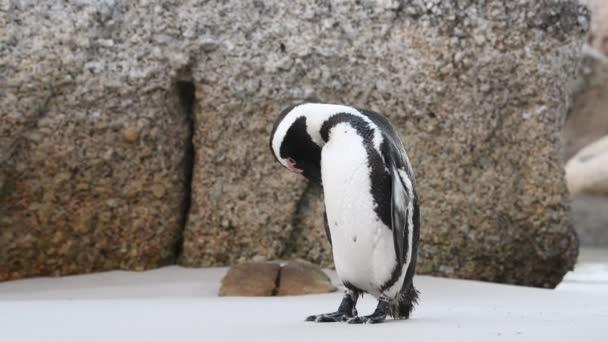 Tučňák africký čistí peří zobákem. Vědecké jméno: Spheniscus demersus, také známý jako tučňák a tučňák černý. Jižní Afrika
