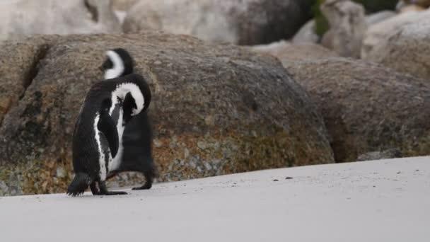 Afričtí tučňáci čistí peří zobákem. Vědecké jméno: Spheniscus demersus, také známý jako tučňák a tučňák černý. Jižní Afrika 4k