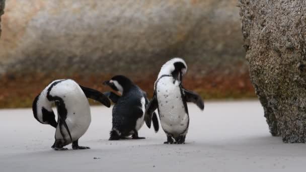 Az afrikai pingvinek csőrrel tisztítják a tollakat. Tudományos név: Spheniscus demersus, más néven a szamár pingvin és fekete lábú pingvin. Dél-Afrika 4k