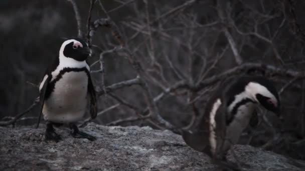 Pinguini africani sul masso. Nome scientifico: Spheniscus demersus noto anche come pinguino jackass e pinguino nero. Sudafrica 4k