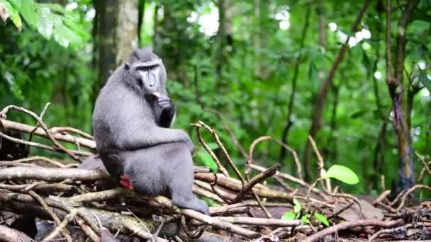 Celebesovi se v lese vyhoupli na hřeben. Zelené přírodní pozadí. Černý macaque s hřebeny, makak na hřebenech Sulawesi nebo černá opice. Přírodní prostředí. Sulawesi. Indonesia