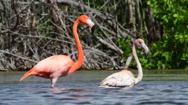 Karibi flamingók a vízben felnőtt és fiatal madár. Amerikai flamingó vagy karibi flamingó. Tudományos név: Phoenicopterus ruber ruber. Kubában.