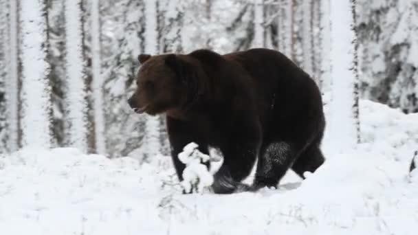 Medvěd hnědý chodí na sníh v zimním lese. Sněžení. Vědecký název: Ursus arctos. Přírodní stanoviště. Zimní sezóna.