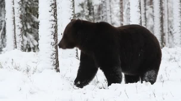 Brown bear walk on the snow in the winter forest. Snowfall. Scientific name: Ursus arctos. Natural habitat. Winter season.