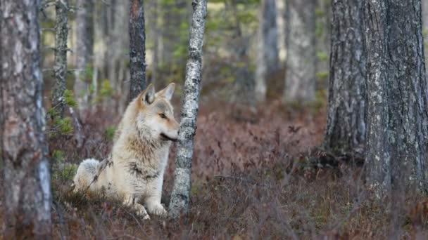 Euroasijský vlk, také známý jako šedý nebo šedý vlk, také známý jako Dřevěný vlk. Vědecké jméno: Canis lupus lupus. Přírodní prostředí. Podzimní les.