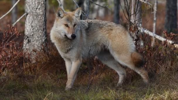 Eurázsiai farkas, más néven szürke vagy szürke farkas, más néven fa farkas. Tudományos név: Canis lupus lupus. Természetes élőhely. Őszi erdő.
