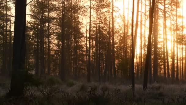 Časné podzimní ráno - všechno v mlze. Borový les za mlhavého úsvitu. Kmeny stromů a studená mlha.