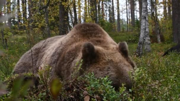 Barna medve az erdőben. Tudományos név: Ursus arctos. Természetes élőhelye.