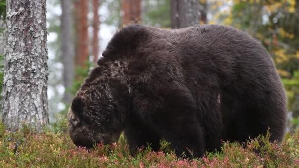 Medvěd hnědý v lese. Vědecký název: Ursus arctos. Přírodní stanoviště.