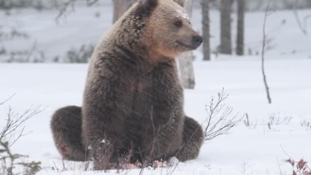 Wild adult Brown bear in the snow in winter forest. Adult Big Brown Bear. Scientific name: Ursus arctos. Natural habitat. Winter season