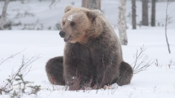The bear shakes off the snow. Wild adult Brown bear s in the snow. Blizzard in winter forest.  Scientific name: Ursus arctos. Natural habitat. Winter season