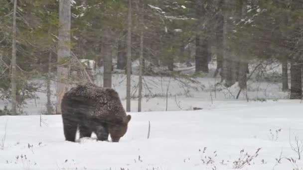Juvenile Brown bear in the snow in the winter forest. Scientific name: Ursus arctos. Natural habitat. Winter season