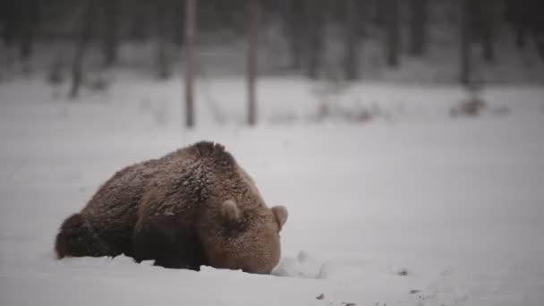 Mladý medvěd hnědý ve sněhu na zasněžené bažině. Blizzard v zimním lese. Vědecký název: Ursus arctos. Přírodní prostředí. Zimní sezóna